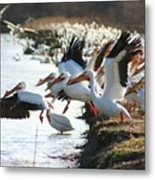 Pelicans Leaving Metal Print