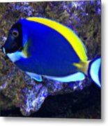 Blue Tang Fish  Metal Print