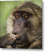 Pensive Baboon Metal Print