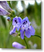 Penstemon 1 Metal Print