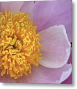 Peonie Yellow Center Metal Print