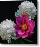 Peonies - Beautiful Flowers - On The Right Is One Of The First Places Among The Garden Perennials Metal Print