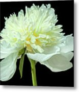 Peony Expression Of Tenderness Metal Print
