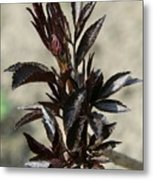 Peony Sprouts Metal Print
