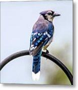 Perched Blue Jay Metal Print
