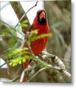 Perched Cardinal Metal Print