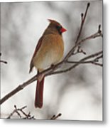 Perched Female Red Cardinal Metal Print