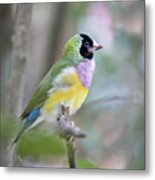 Perched Gouldian Finch Metal Print by Glennis Siverson