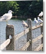 Perched Gulls Metal Print