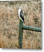 Perched Hawk Metal Print by Douglas Barnett
