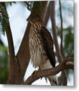 Perched Hawk Metal Print