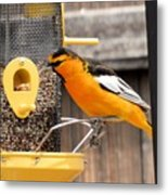 Perched Oriole Metal Print