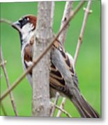 Perching Sparrow Metal Print