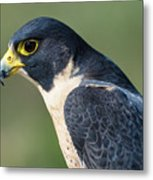 Peregrin Falcon Metal Print