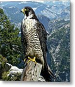 Peregrine Falcon, Yosemite Valley, Western Sierra Nevada Mountain, Echo Ridge Metal Print