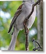 Perfect Profile - Chipping Sparrow Metal Print