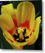 Perfect Yellow And Red Flowering Tulip In A Garden Metal Print