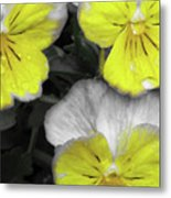 Perfectly Pansy 13 - Bw - Yellow Metal Print