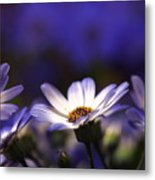 Pericallis On A Cool Spring Evening 4 Metal Print