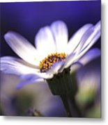 Pericallis On A Cool Spring Evening Metal Print