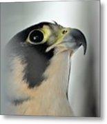 Perigrene Falcon Metal Print