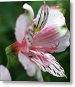 Perivian Lily With Ant Metal Print