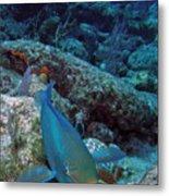 Perky Parrotfish Metal Print