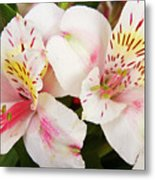 Peruvian Lilies  Flowers White And Pink Color Print Metal Print