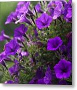 Petunias 2 Metal Print