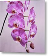 Phalaenopsis Lianher Happy Dancer Metal Print