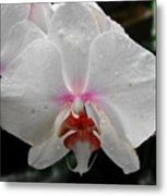 Phalaenopsis Orchid With Blush Center Metal Print