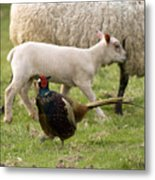 Pheasant And Lamb Metal Print