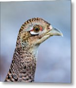 Pheasant Hen Metal Print