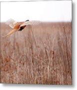 Pheasant In Flight Metal Print by Gabriela Insuratelu