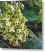 Philipsburg Manor - White Blossom Metal Print