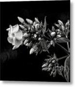 Phlox In Black And White Metal Print