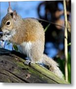 Picture Perfect Squirrel Metal Print