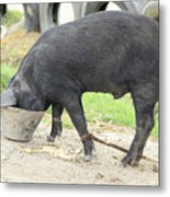 Pig Eating From A Bucket Metal Print
