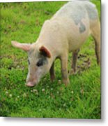 Pig In Wildflowers Metal Print