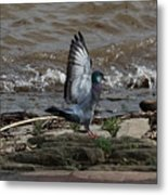 Pigeon With Its Wings Up Metal Print