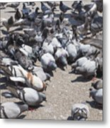 Pigeons Are Eating Forage  Metal Print