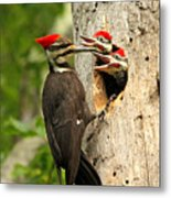 Pileated #30 Metal Print