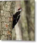 Pileated About To Take Flight Metal Print