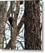 Pileated Billed Woodpecker Metal Print