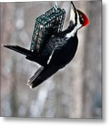 Pileated Billed Woodpecker Feeding 1 Metal Print