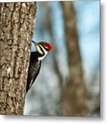 Pileated Billed Woodpecker Pecking 1 Metal Print