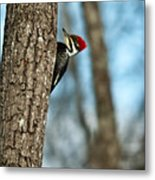 Pileated Billed Woodpecker Pecking 2 Metal Print