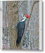 Pileated Woodpecker - Dryocopus Pileatus Metal Print