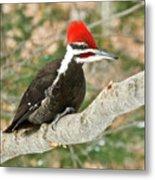 Pileated Woodpecker 6073 Metal Print