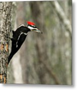 Pileated Woodpecker Looking For A Perspective Mate Metal Print